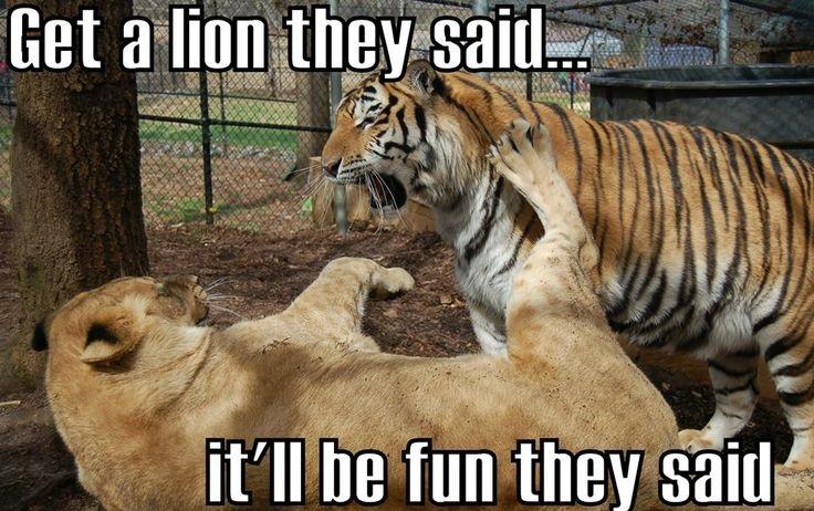 Lion Meme Archives Memesboy