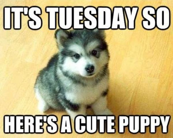 It's Tuesday So Here's Cute Puppy Tuesday Meme