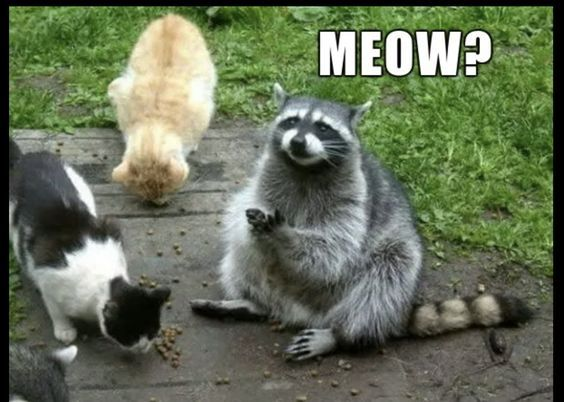 19 Hilarious Raccoon Meme That Make You Smile Memesboy