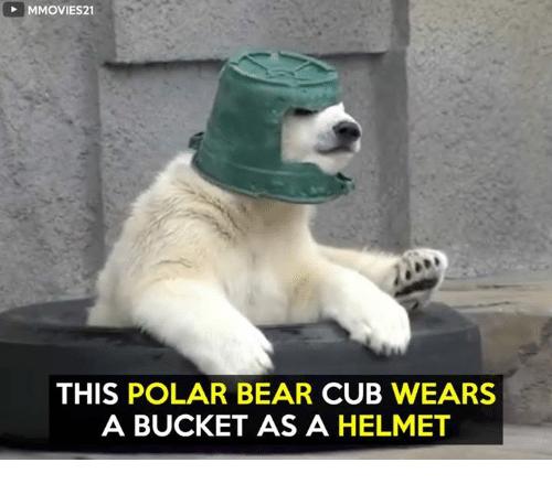 This Polar Bear Cub Wears Polar Bear Meme