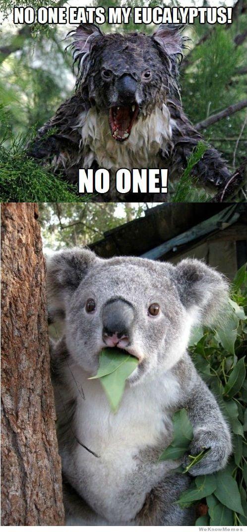 19 Funniest Koala Meme That Make You Laugh | MemesBoy  Funny Koala Memes