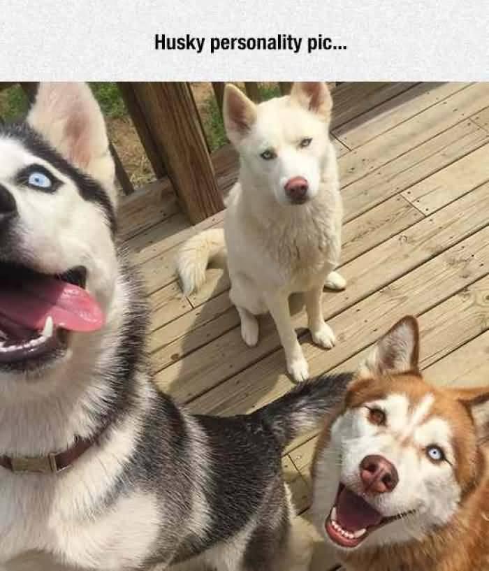 19 Very Funny Husky Meme That Make You Laugh | MemesBoy